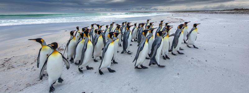 Kongepingviner på Falklandsøerne - Happy Lama Travel